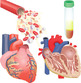 Circulatory System Clip Art
