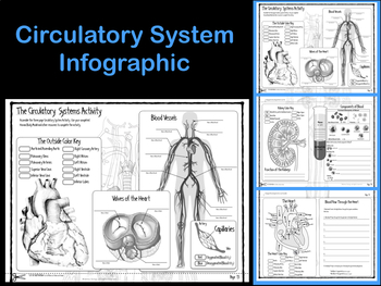 Circulatory System Infographic