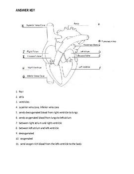 Circulatory System Internal Anatomy of Heart Worksheet - Cosmetology Science