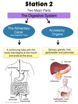 Digestive system exhibition stations by biology roots tpt digestive system exhibition stations ccuart Images