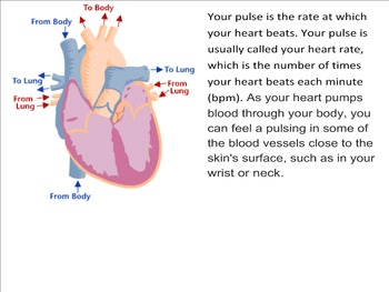 Circulatory System overview and pulse lab
