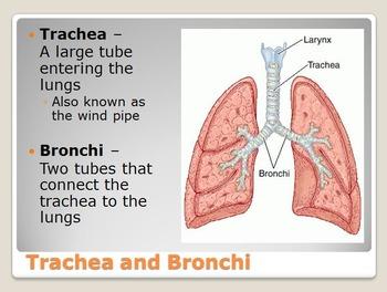 Circulatory and Respiratory System Unit