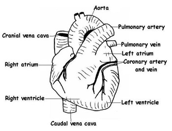 Circulatory and Respiratory Systems: worksheets, tests