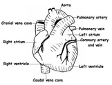 Circulatory and Respiratory Systems: worksheets, tests
