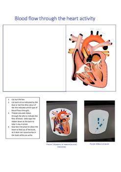 Circulatory system lesson