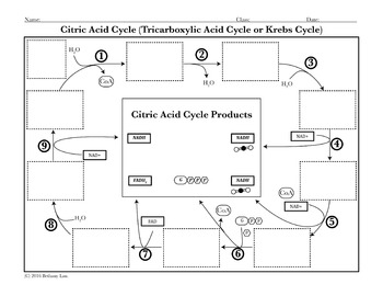 Cell Respiration Activity: Krebs Cycle Cut and Paste