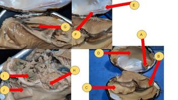 Clam Dissection Quiz