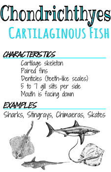 Classes Posters- Chondrichthyes