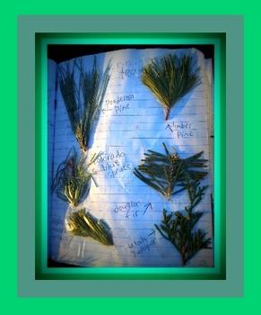Leaf identification: dichotomous classification key to coniferous leaves