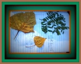 Leaf identification activity: dichotomous classification key to deciduous leaves