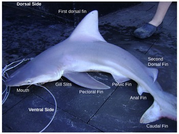 Classifying Sharks Power Point