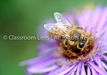 Classroom Lens Stock Photo - Bee on Flower
