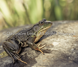 Classroom Lens Stock Photo - Frog 1