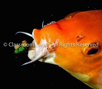 Classroom Lens Stock Photo - Koi Fish