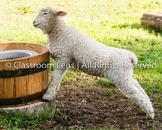 Classroom Lens Stock Photo - Sheep Photo 2