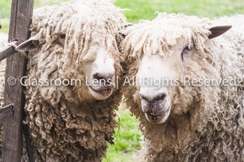 Classroom Lens Stock Photo - Sheep Photo
