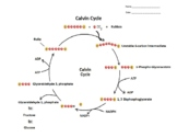 Clear Calvin Cycle Summary with Worksheet/Quiz