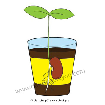Life Cycle of a Seed - Bean Sprout Clip Art
