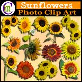 Clipart ♦ Flowers ♦ Sunflowers Photo Clipart