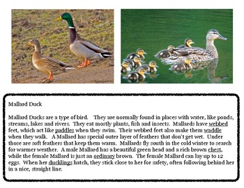 Close Reading ~ Mallard Duck: Expository Text Response and Understanding