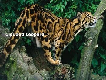 Clouded Leopard - Power Point - endangered animal informat