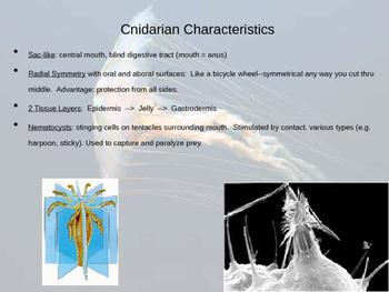 Cnidarian Powerpoint Notes