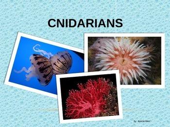 Cnidarians Powerpoint