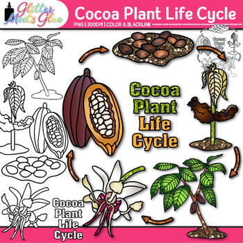 Cocoa Plant Life Cycle Clip Art {Fall Plant Graphics for Science Activities}
