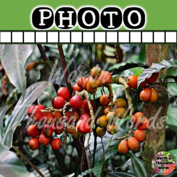 Coffee Plant Photo