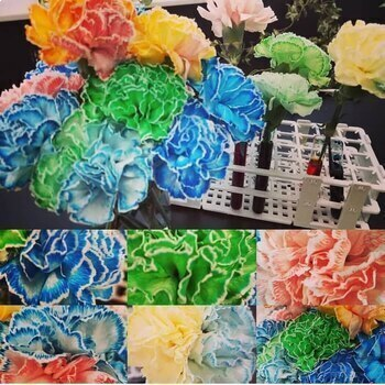 Colorful Carnations Lab or Demo for Students of All Ages!