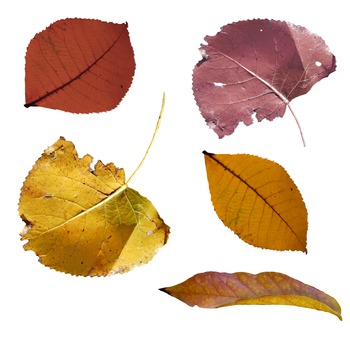 Colorful Photographed Fall Leaf Clip Art