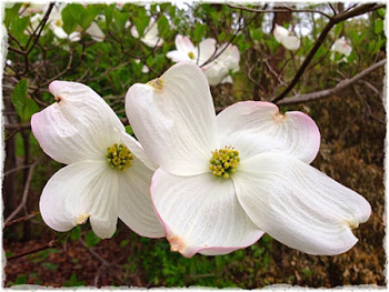 Common Core for Dogwood Dream