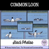 Common Loon Stock Photo - Personal and Commercial Use