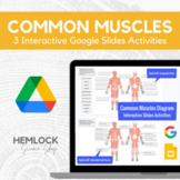 Common Muscles (Muscular System) - drag-drop/labeling - Sl