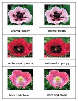 Common Poppy Varieties