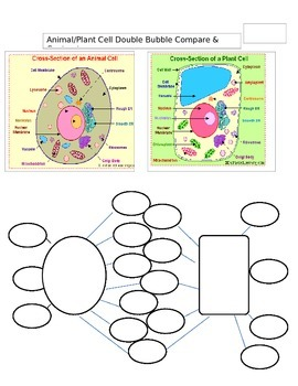 Compare & Contrast Animal/Plant Cell