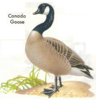 Compare/Contrast Worksheet: Ducks and Geese 18 Reading Comprehension Questions