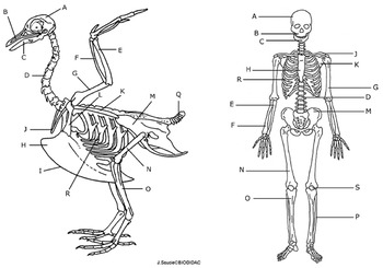 Comparing a Human and Avian Skeleton (Key)