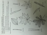 Dichotomous Key for Leaves