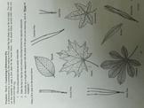 Dichotomous Key for Leaves