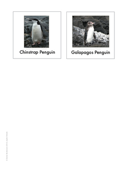 Continent Animal Cards, Penguins