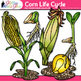 Corn Life Cycle Clip Art {Great for Plant Groups & Native American Studies}