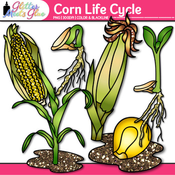 Corn Life Cycle Clip Art | Great for Plant Groups & Native American Studies