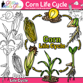 Corn Life Cycle Clip Art {Great for Plant Groups & Native