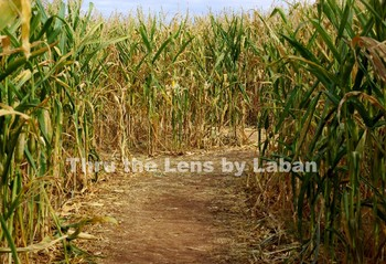 Corn Maze Path Stock Photo #221