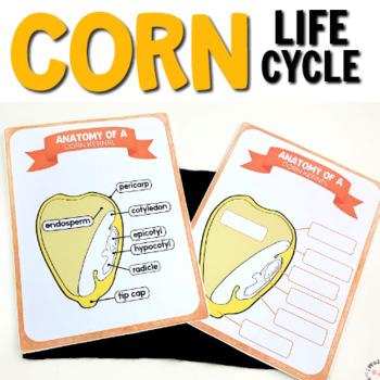 Corn Montessori Life Cycle Printables   TpT