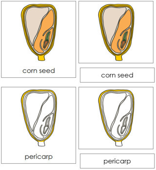 Corn Seed Nomenclature Cards