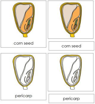 Corn Seed Nomenclature Cards