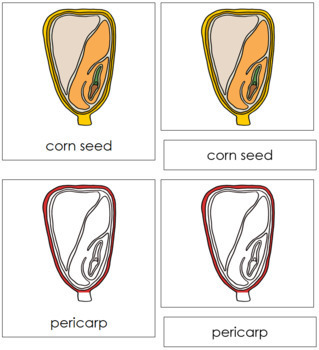 Corn Seed Nomenclature Cards (Red)