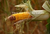 Corn on the Stalk Stock Photo #230 and #231